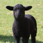 lamb-1306604_1280
